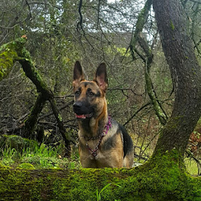 Justice by Colleen Flynn - Animals - Dogs Portraits ( beautiful dog, german shepherd dog, dog portrait, best dog ever, dog, dog in woods,  )