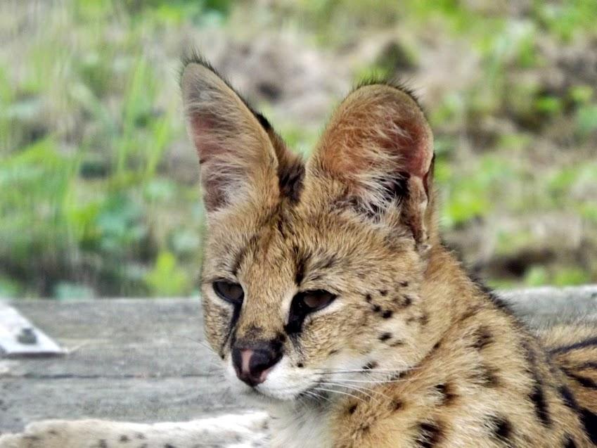 Serval, Spaycific'zoo - Tous droits réservés