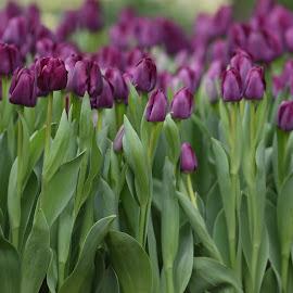 Purple Tulips  by Lorraine D.  Heaney - Flowers Flower Buds (  )