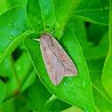 White-speck moth