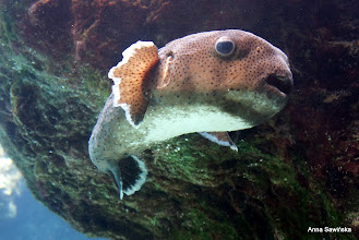 Photo: Porcupine fish at Okinawa Churaumi Aquarium
