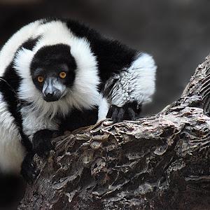 Lemur4 retake.jpg