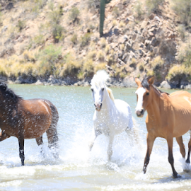 Wild Horses in Lake Saguaro by Kate Purdy - Animals Horses ( white stallion, arizona, wild horses, weather, hot, wild mustangs, water, lake, horses in water, band of horses, horses, wildlife )