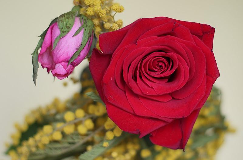Le due rose di FZATOX