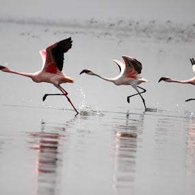 flamingo in flight by Vijayendra Desai - Animals Birds ( vijayendra )