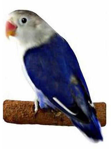 Download 1010+ Foto Gambar Burung Lovebird Warna Violet HD Paling Bagus Gratis