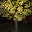 Bradford Pear