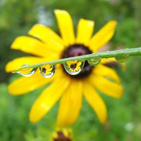 raindrops by Carol Keskitalo - Novices Only Flowers & Plants ( macro, rain drops, flowers )