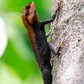    Rock Agama    by Indra Maji - Animals Reptiles