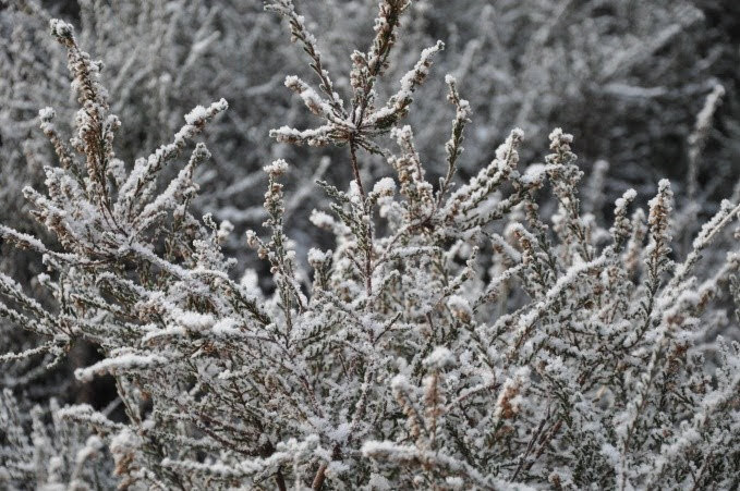 Snow on heather