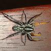 Australian Ground Spider