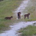 Florida Wild Bobcat