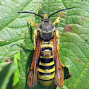 Raspberry Crown Borer Moth
