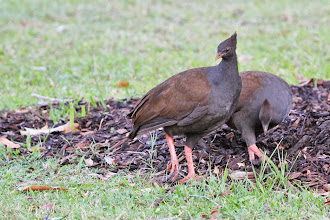 Photo: Orange-footed Scrubfowl