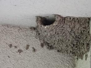 Photo: 撮影者:玉木 雅治 コシアカツバメ タイトル:タイトル:コシアカツバメ 新たに営巣 観察年月日:2014年8月21日 羽数:2羽+ 場所:日野平山アパート6号棟西側階段上 区分:繁殖 メッシュ:武蔵府中1H コメント:コシアカツバメが平山地区に営巣しています。2巣ありますが落下物の状態から、1巣を使用しているようです。頻繁に出入りしていて、2羽以上いるのかは不明。20日前、山崎悠一久美子さんご夫妻にこの近くで飛翔中のコシアカツバメを教えていただいた後、見守っていました。「たしか去年はいなかった」というのが6号棟住民数人の声。コシアカツバメは高幡台団地にいるようですが、浅川を遡上して行動領域を広げているのでしょうか。