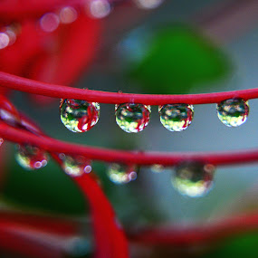 Dripping Wet by Chandal Chenier - Nature Up Close Natural Waterdrops ( red, waterdrops, green, lily )