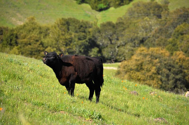 Photo: Lots of Grazing Cows Enjoying The Green Grass