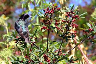 Photo: Starling