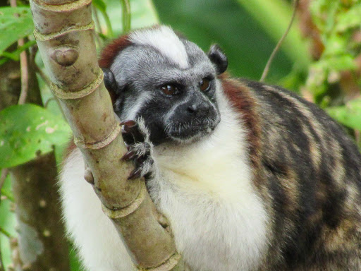 A Tamarin or titi monkey considers whether to approach a tourist boat at Monkey Island in Panama.