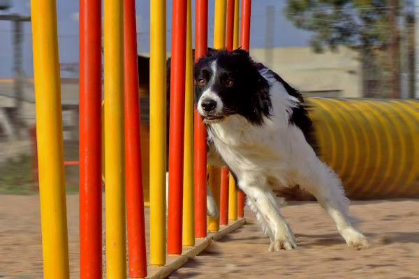 Agility Dog di fast.dp
