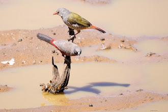 Photo: Top: Green-winged Pytilla (Afrikaans: Gewone Melba), bottom: Black-faced Waxbill (Afrikaans: Swartwangsysie) at the bird hide at Stofdam in the Mokala National Park