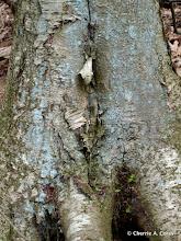 Photo: Yellow birch and powder blue lichen