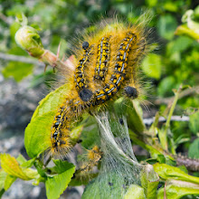 Photo: Tent caterpillars photo by Susie Fitzough