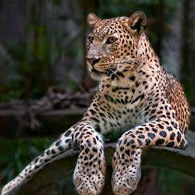 by Joel Mochammad - Animals Lions, Tigers & Big Cats
