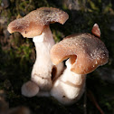 Bulbous Honey Fungus