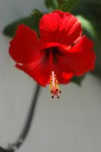 Photo: Red Hibiscus flower, Jaffa, 2006