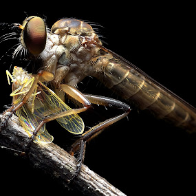 ROBBERFLY by Ayoe Artstudio - Animals Insects & Spiders