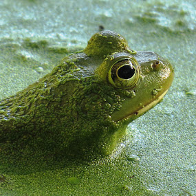 Frog by Erika  Kiley - Novices Only Wildlife ( frog, green, duck weed, pond life, eye )