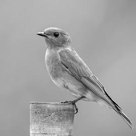 Eastern Bluebird by Debbie Quick - Black & White Animals ( debbie quick, nature, songbird, bluebird, debs creative images, new york, outdoors, bird, animal, eastern bluebird, wild, hudson valley, poughkeepsie, wildlife )