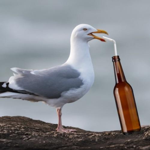 Drunken Seagull