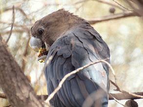 Photo: Glossy Black-Cockatoo (male) - Mt AInslie