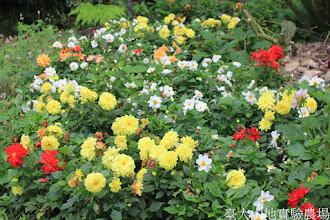 Photo: 拍攝地點: 梅峰-溫帶花卉區 拍攝植物: 大理花 拍攝日期: 2015_09_07_FY