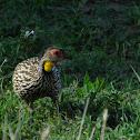 Yellow necked spurfowl