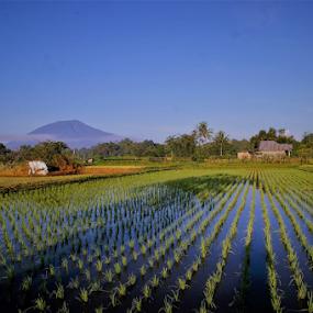 My rice fields by Adi Krishna - Landscapes Prairies, Meadows & Fields