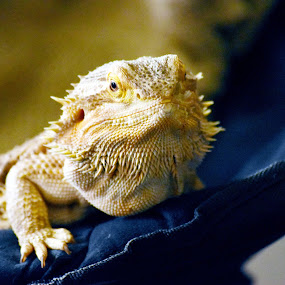 Pancake by Andy Bigelow - Animals Reptiles