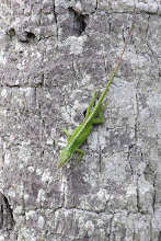 Photo: Green Anole
