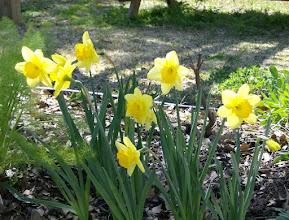 Photo: Daffodils from Bulb  Mart, 3/13/10