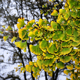 Ginkgo Contrast by Beth Bowman - Nature Up Close Trees & Bushes (  )