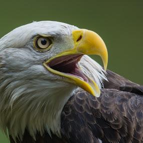 American Bald Eagle by Susan Hughes - Animals Birds ( american bald eagle,  )