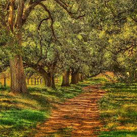 Oak tree lane by Ron Olivier - Nature Up Close Trees & Bushes ( oak tree lane,  )