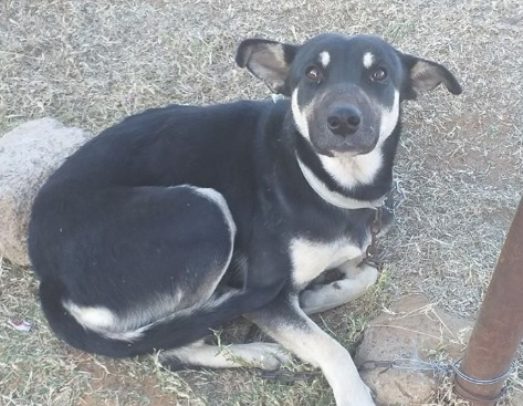 The crossbreed dog has been rescued by the SPCA after it was allegedly sexually abused by its owner.