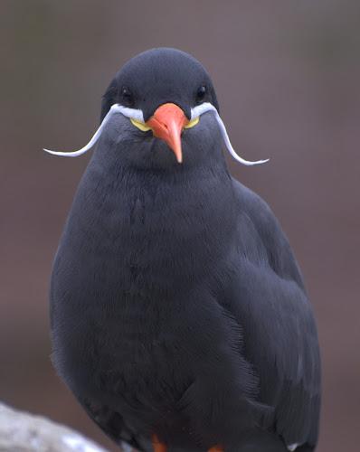 Inca Tern by Doug Faraday-Reeves - Animals Birds ( tern, seabird )