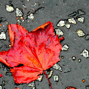 Paves of Red by Nicola Graham - Nature Up Close Leaves & Grasses ( fall leaves on ground, fall leaves, pwcfallleaves, nature, red autumn, leaf, leaves, pavement )
