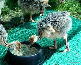 Photo: (Year 3) Day 23 - Baby Ostrich #4