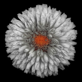 Black & White have colors too by Soumen  Basu Mallick - Nature Up Close Flowers - 2011-2013 ( solid, white, marigold, black, flower )