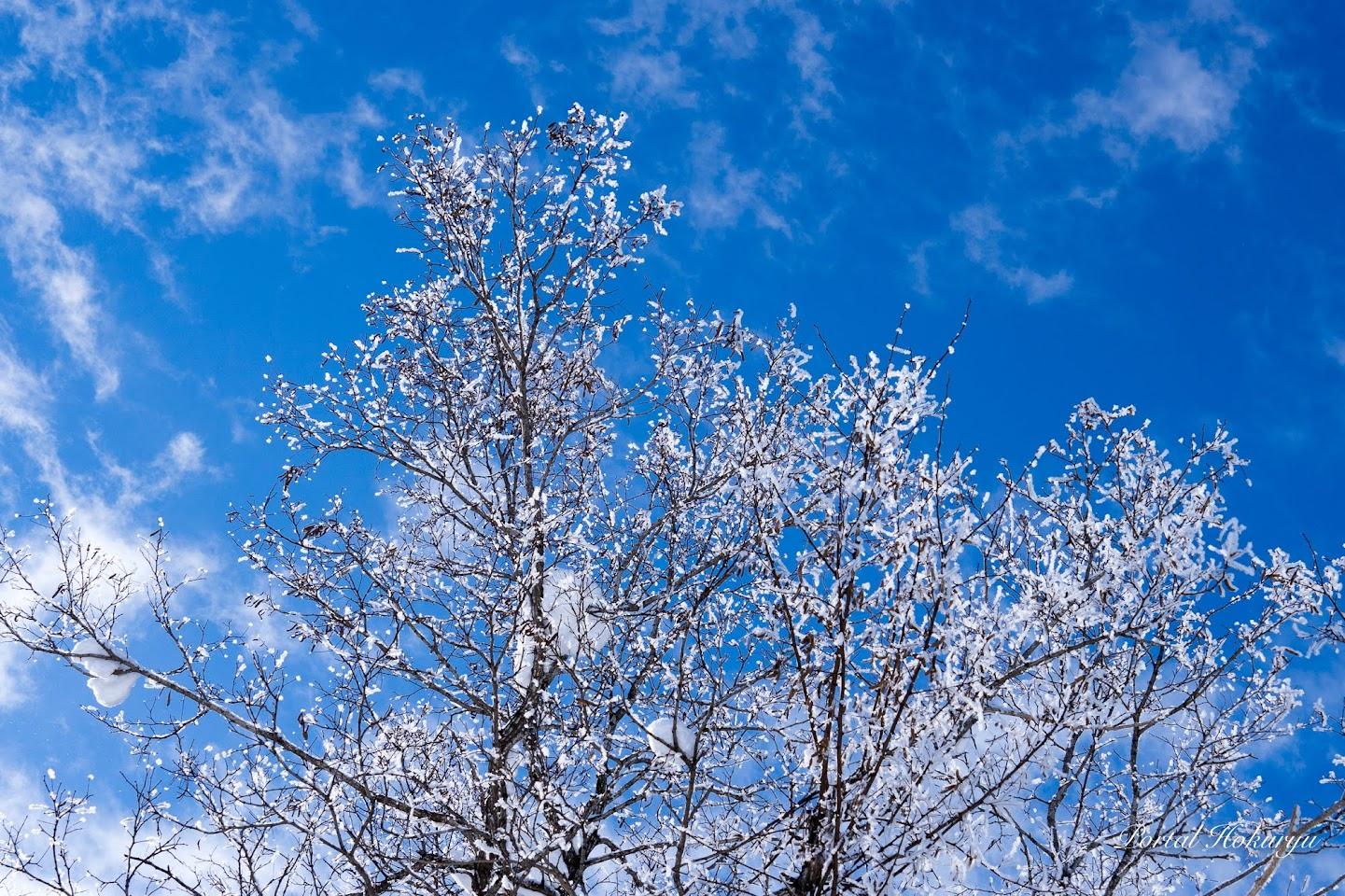 冬に咲く白い雪桜